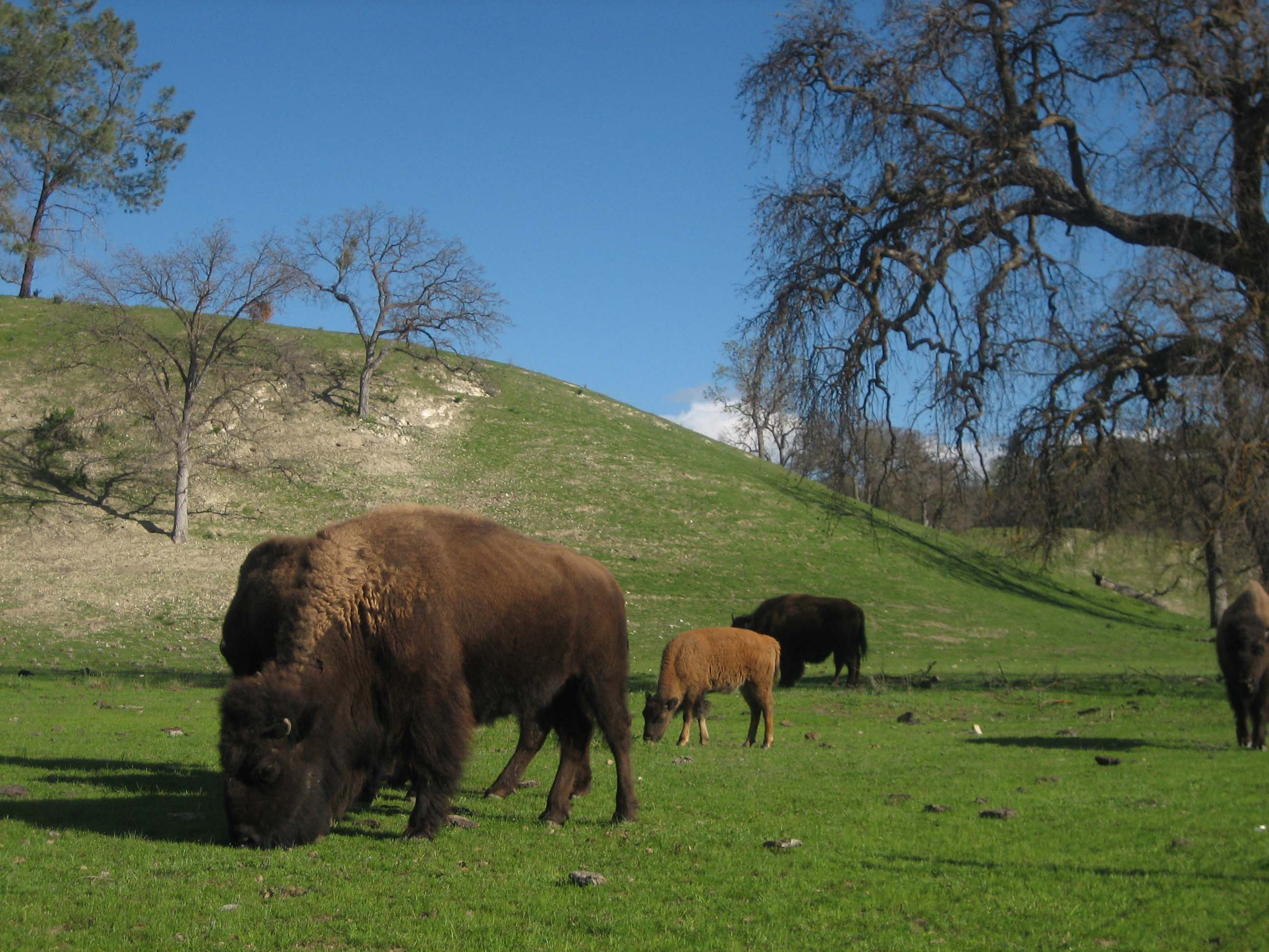 bison-on-route-58.jpg