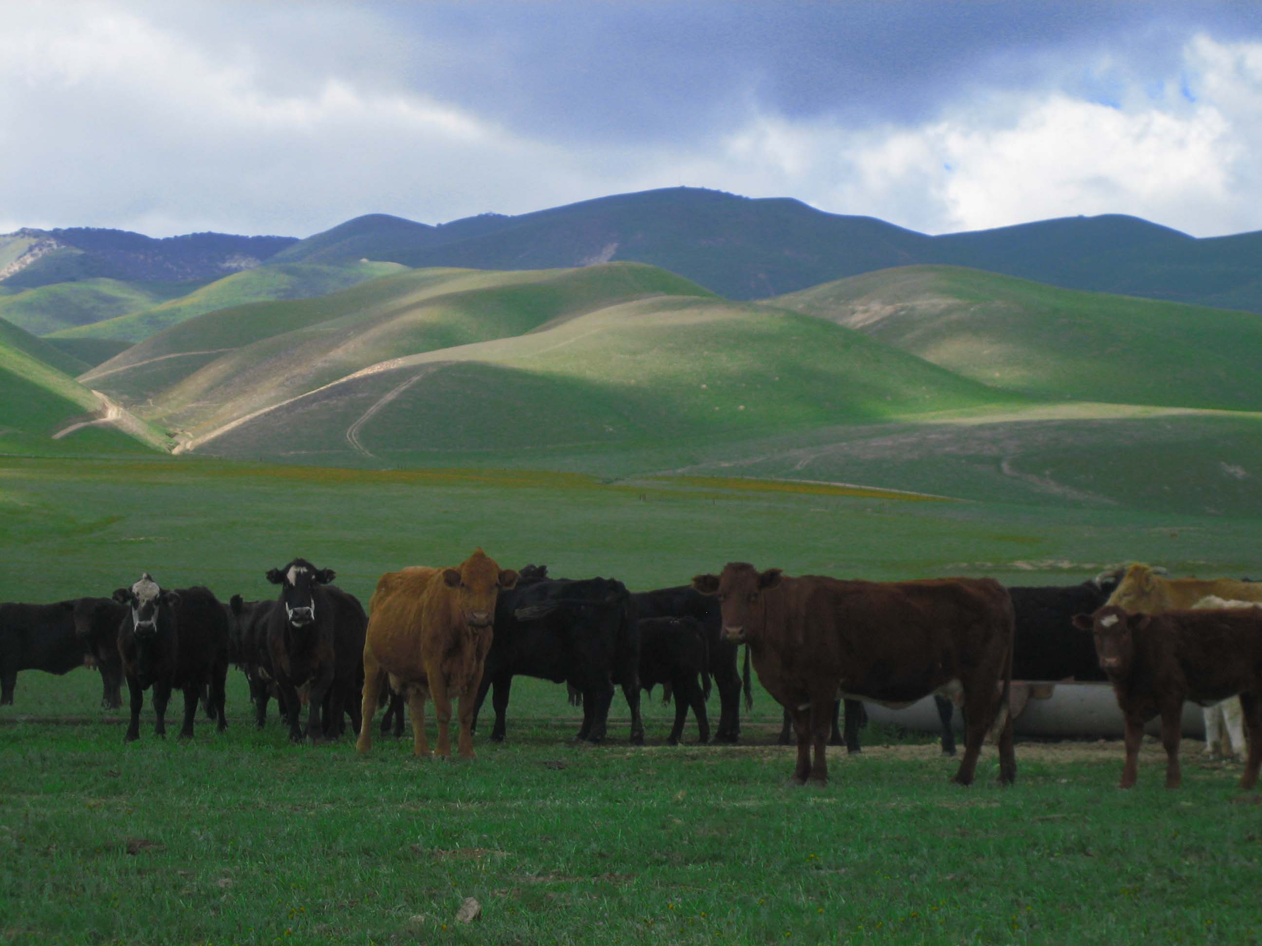 cows-otside-of-taft-ca.jpg